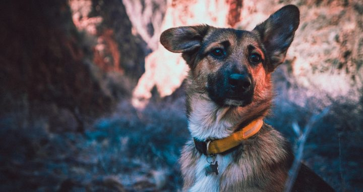 Dog Harness Vs Collars - How To Choose?