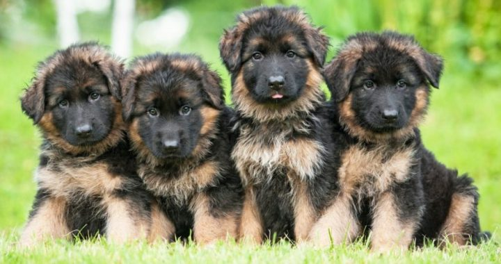 Puppies for sale victoria